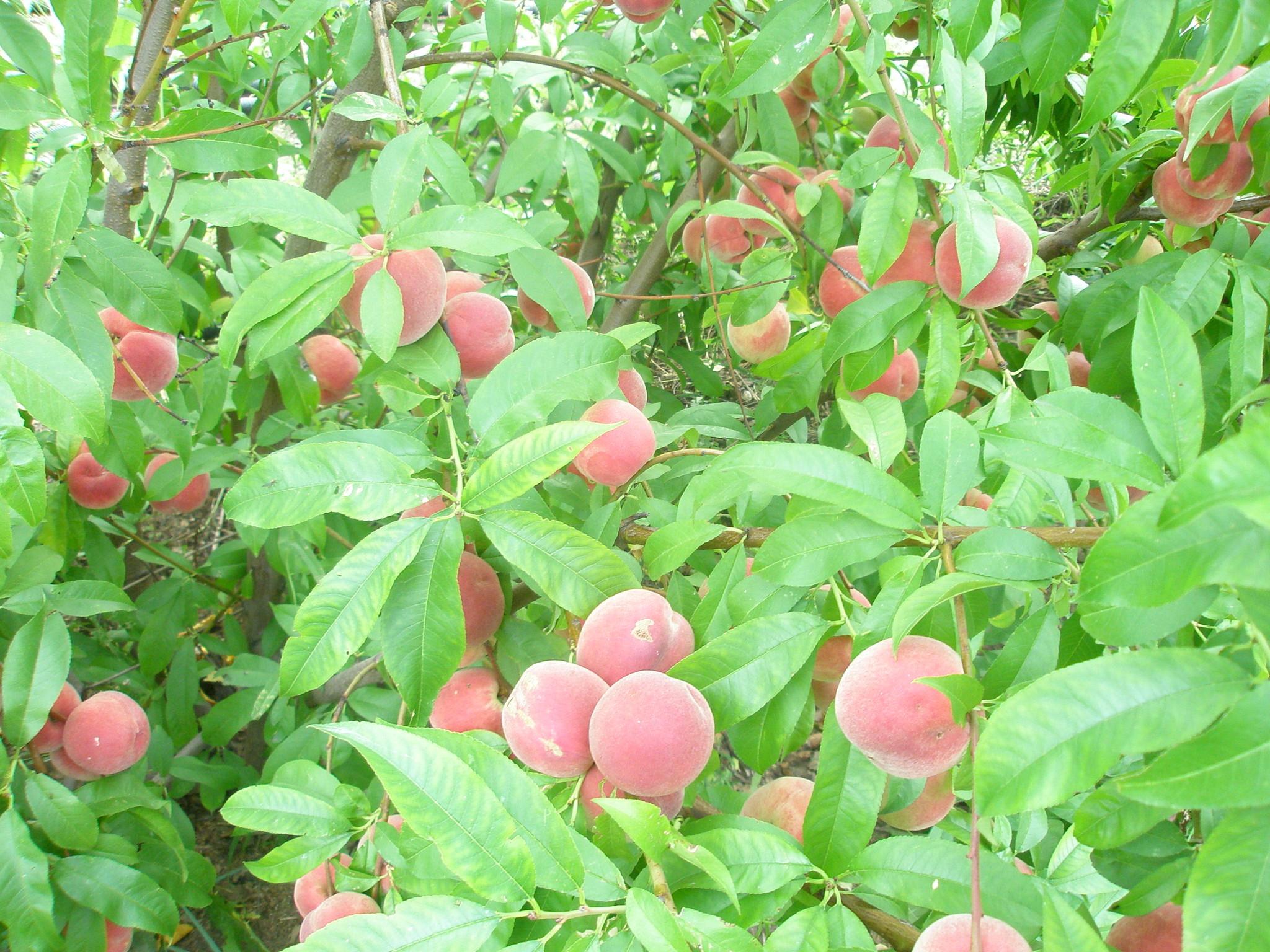 Персики и их выращивание