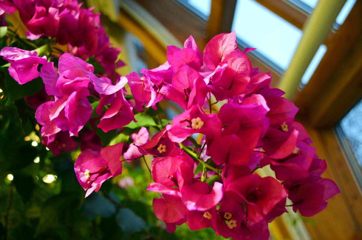 2. Бугенвилия. Такие же цветущие грозди мы видели в Хорватии.