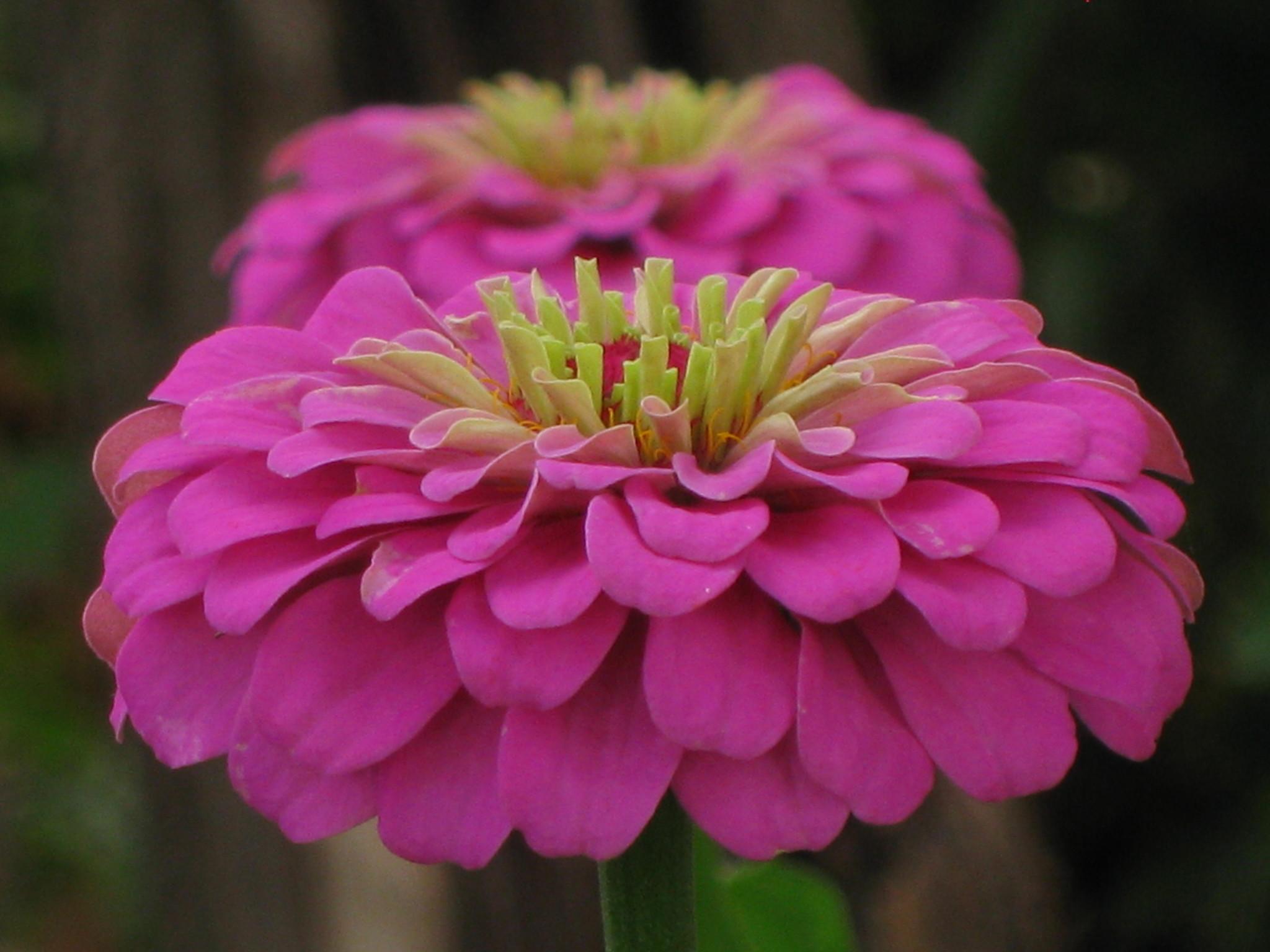 шримс шарнира цветы панычи фото привлекательней